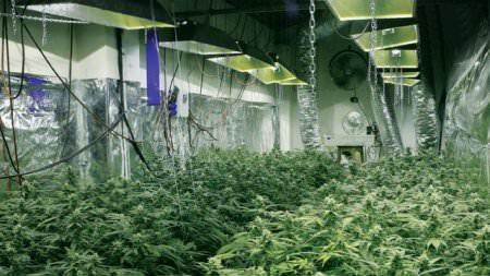 marihuanna